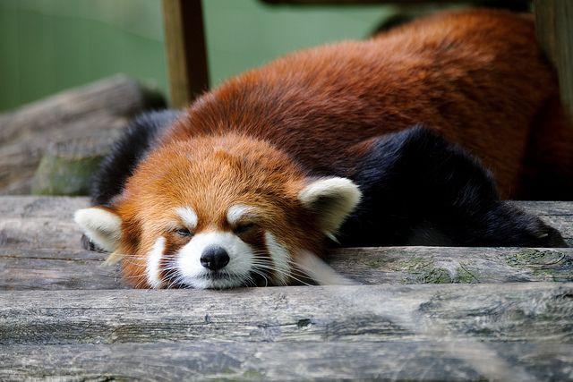 Stupid Red Panda by Eric Kilby