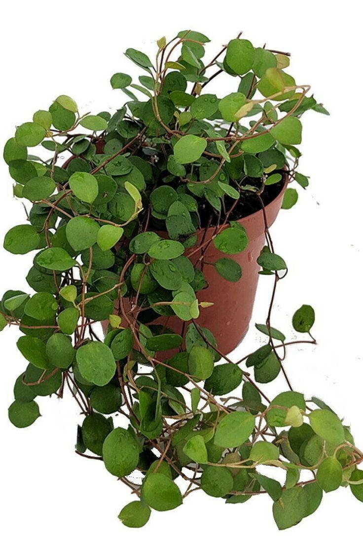 Biblical Angel Vine – Muehlenbeckia -Houseplant / Terrarium / Fairy Garden – 3.75″ Pot