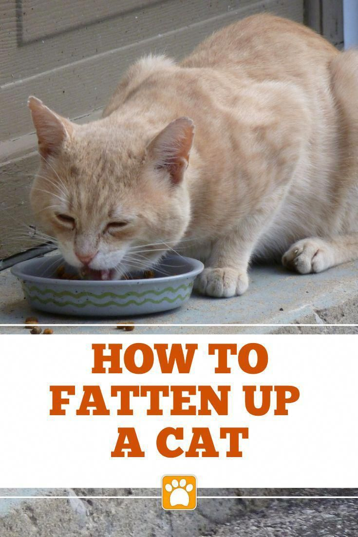 Fatten Up A Skinny Cat In 2020 Cat Care Cat Training Cats