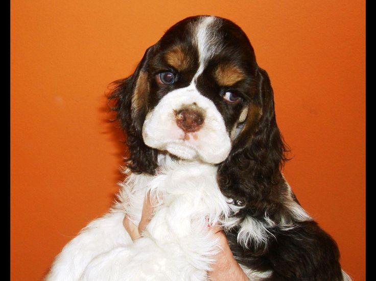 Elena Sicurello Has Cocker Spaniel Puppies For Sale In Bethlehem, PA On AKC PuppyFinder