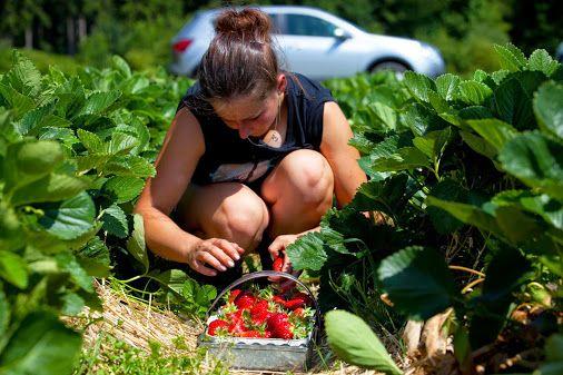 Маленькие хитрости большого урожая земляники садовой