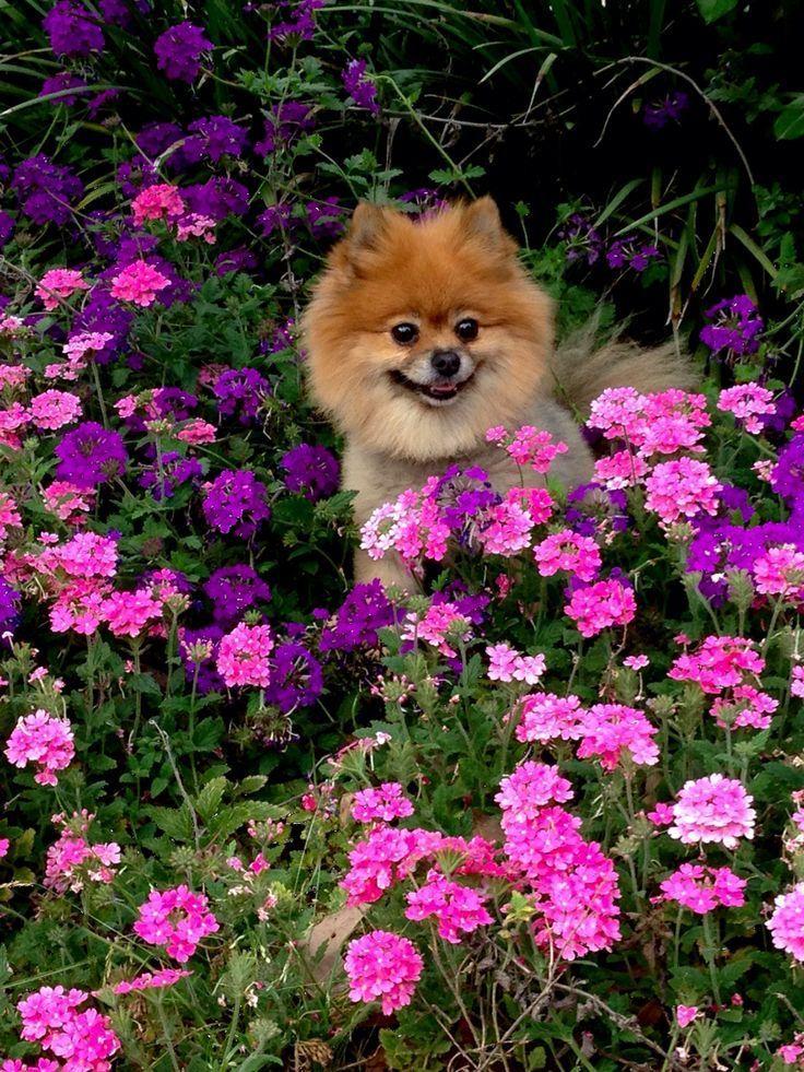 Gluckliche Poms Gluckliche Poms En 2020 Animales Bonitos Animales Perros