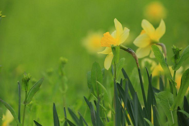 2015-04-20  ラッパスイセン  田んぼの畦道に咲くラッパスイセン。新緑に黄色が映えて(*^^*)