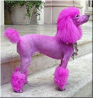 pink poodle makes me wish my poodle was white (easier to dye hair) ..or a girl lol