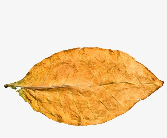 Leaf Tobacco Leaf Tobacco Yellow Leaves Png Transparent Clipart Image And Psd File For Free Download Tobacco Leaf Dry Leaf Yellow Leaves