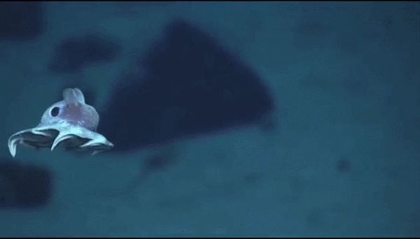 G'night, Chivers: A baby octopus swimming (1 GIF) : theCHIVE