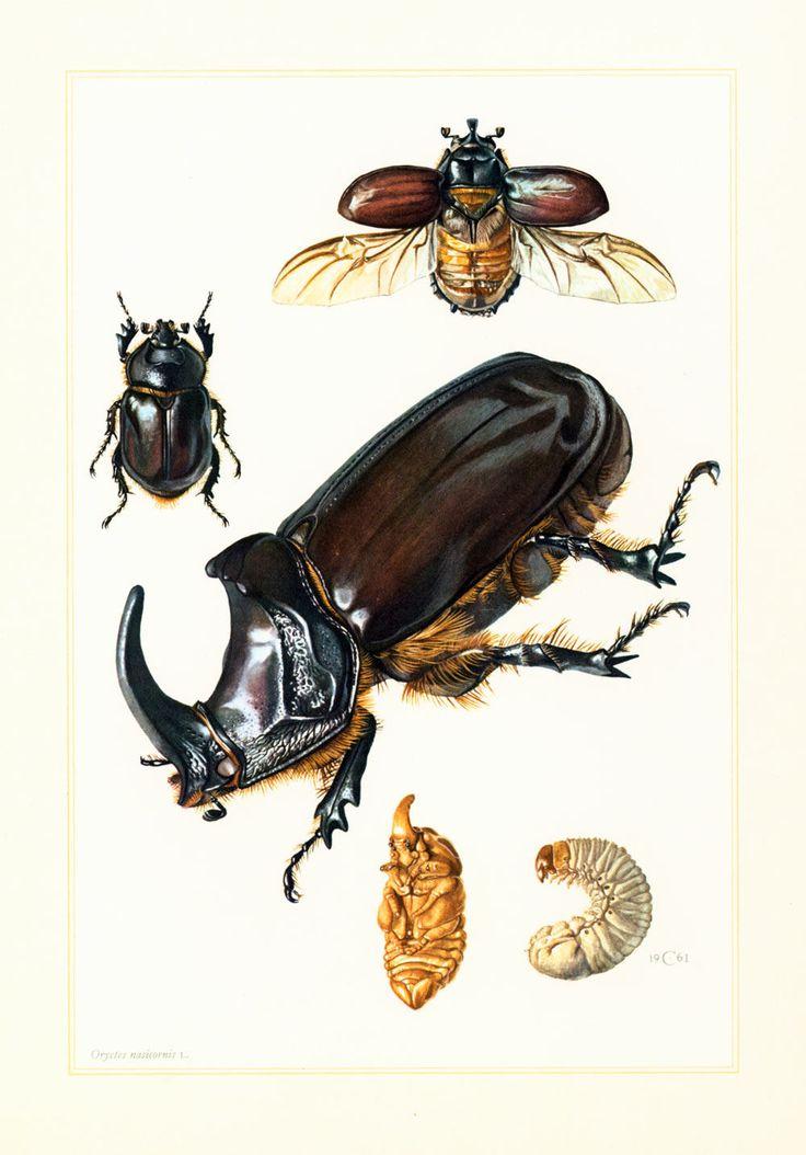 1960 Scarabée rhinocéros Coleoptere. Oryctes nasicornis. Illustration Insecte Larve Nymphe. Planche Originale Entomologie. de la boutique sofrenchvintage sur Etsy