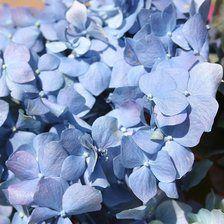 Click to Order Blue Hydrangea Petals