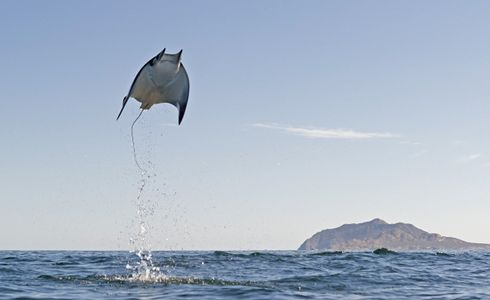 Picture of the Week: Munk's Devil Ray All 9 species of devil rays leap out of the water, but no one yet knows why