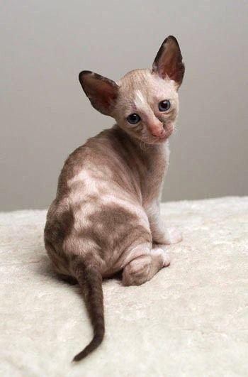 Cornish Rex Kitten Je suis pas très chat mes lui est mignon!