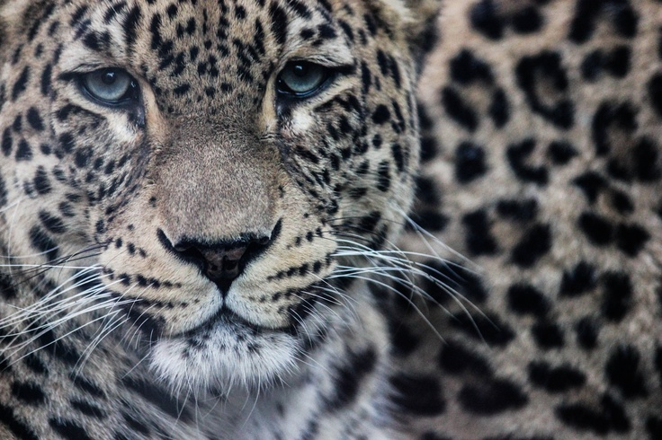Leopard in Zoo Budapest