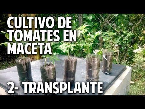 17 best images about huertos caseros y organicos on - Como plantar marihuana en casa paso a paso ...