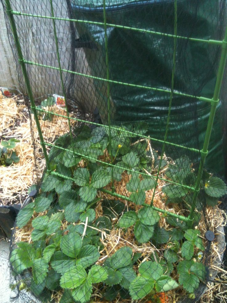 Problems with birds eating your strawberries? Putting a climbing frame in your strawberry planter gives your plants more room to grow - while being protected with bird netting at the same time.