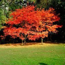 Amelanchier lamarckii - Autumn colour