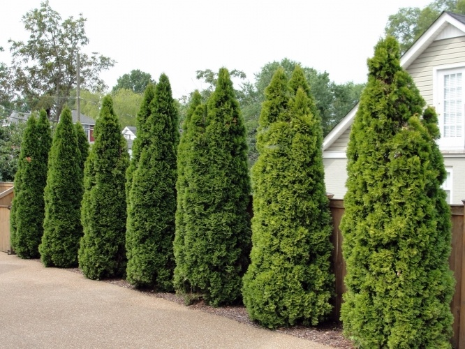 Emerald Green Arborvitae Usually Reaches Just With A Spread Of Its Foliage Comes In Flat Sprays Slim Tree Medium Height It Is Often Planted Row