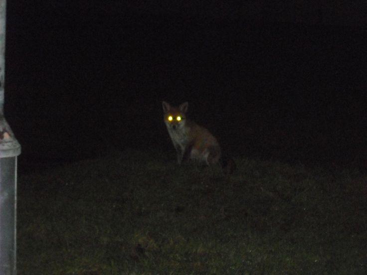Night Fox Photo - Visual Hunt