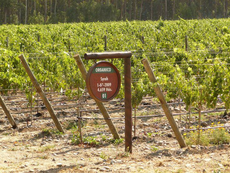 Vista de viñedos de otra famosa Viña de Isla de Maipo, los vinos de esta comuna son conocidos de forma nacional e internacional.