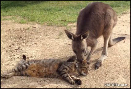 CAT GIF • Cat and Kangaroo can be best friends. Let me scratch your head, I know you like it.