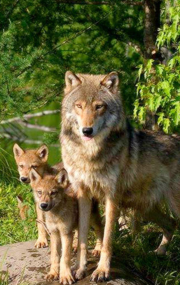 Wölfin mit Jungen