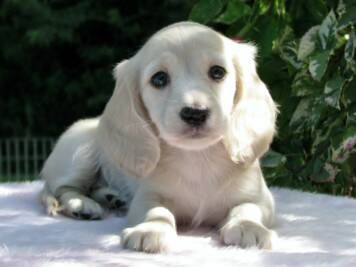 STUNNING! english cream miniature dashund