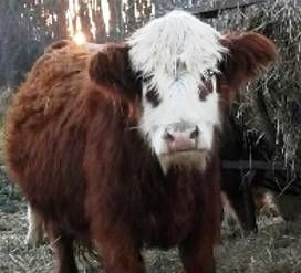 Our Little Acres has Mini Cows for Sale in Rush City, MN / Miniature Highland Cows for sale / Fainting Goats for Sale / Moon Spotted  Fainting Goats