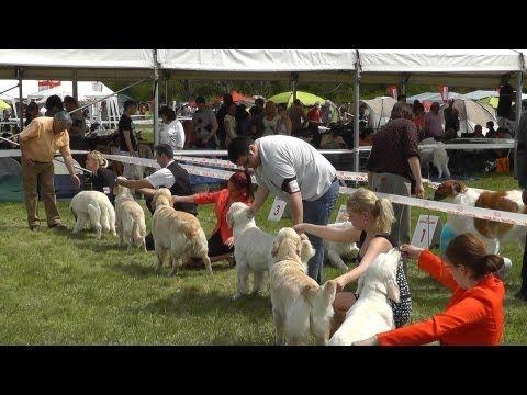 Miskolc Marathon Dog Show 2013.04.27. Golden Retriever : fiatal szukák, nyilt szukák. munka szukák.