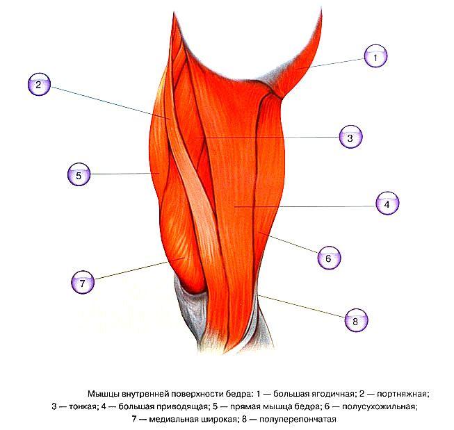 Мышцы - анатомия и функции — SportWiki энциклопедия