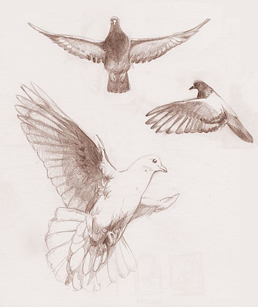 Flying dove studies by redwattlebird on DeviantArt