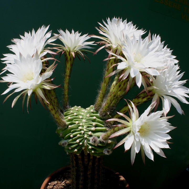 Wonderful white cactus flowers - Echinopsis subdenudata ...