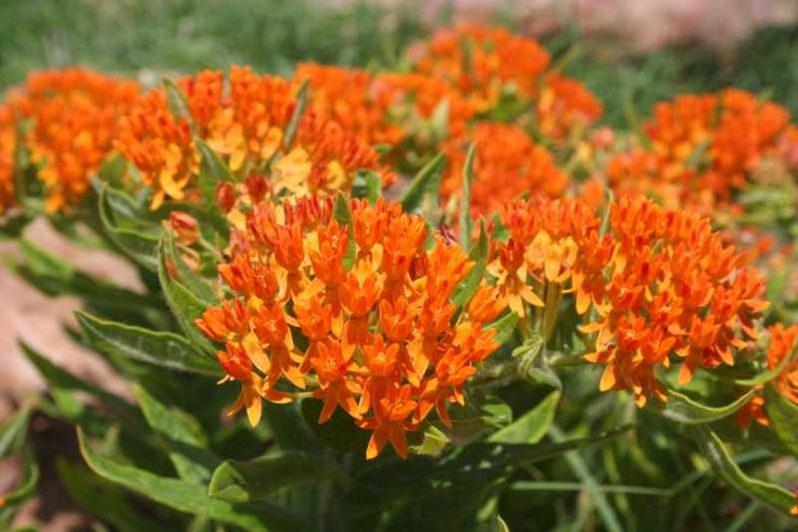 Common Name: butterfly weed  Type: Herbaceous per.  Zone: 3-9  Native Range: Eastern and so.US  Height: 1 to 2.5 feet  Spread: 1 to 1.5 feet  Bloom Time: June to August  Bloom Color: Orange, Yellow  Bloom Description: Yellow/orange  Sun: Full sun  Water: Dry to medium  http://www.missouribotanicalgarden.org/gardens-gardening/your-garden/plant-finder/plant-details/kc/b490/asclepias-tuberosa.aspx