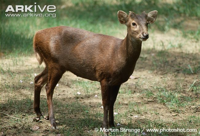 mammals of asia and fallow deer Fallow deer (dama dama) november 2015 overview deer were introduced  into australia from europe and asia in the 19th century as game animals today.