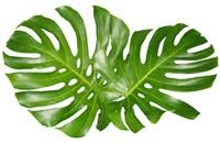 24 best images about monstera leaf on pinterest design design royalty free stock photos and. Black Bedroom Furniture Sets. Home Design Ideas