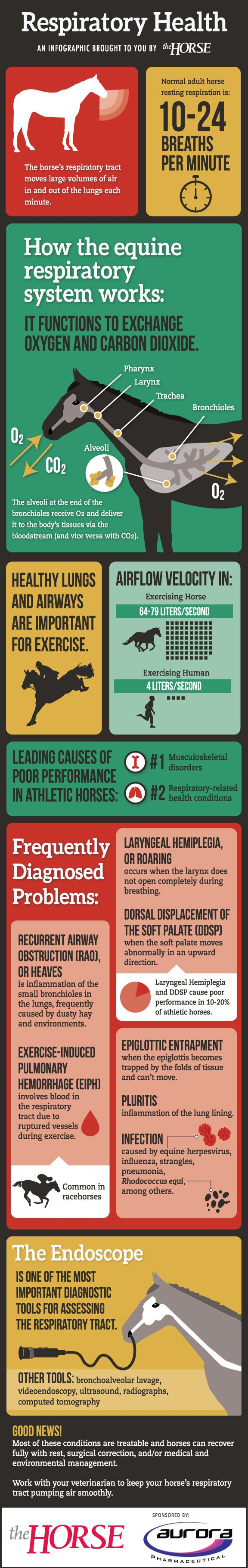 Equine Respiratory Health - TheHorse.com | Learn about how the horse's respiratory system works as well as frequently diagnosed respiratory problems in horses with this easy-to-follow visual guide, brought to you by TheHorse.com and Aurora Pharmaceutical. #horses #horsehealth