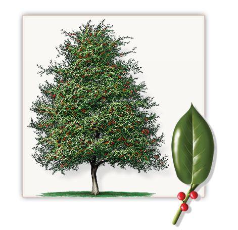 East palatka holly this medium sized evergreen tree has for Small sized evergreen trees