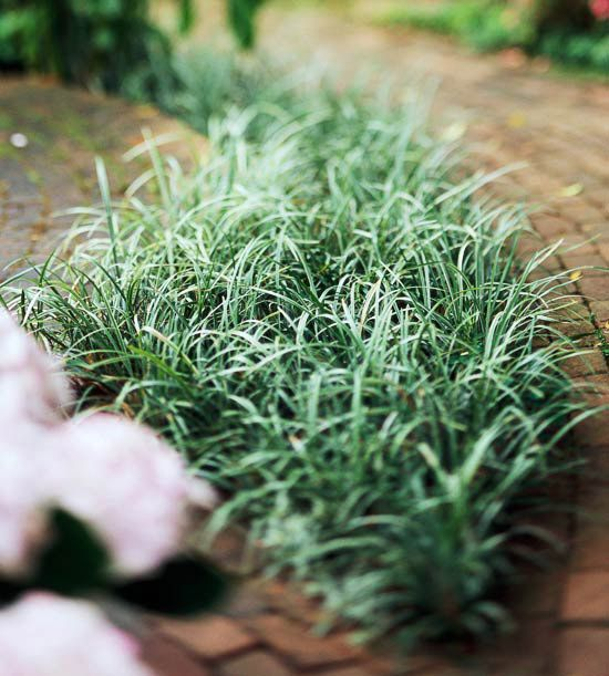 Mondo Grass-weed killing ground cover - best in Texas-A favorite of Southern gardeners, especially the intriguing purple-leaf variety. Though it looks like a dwarf grass and bears the moniker it does, mondo grass is actually more closely related to lilies