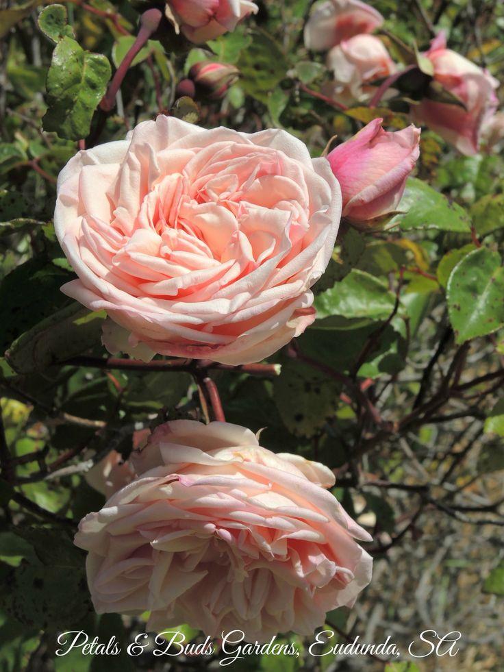 Baronne Henriette de Snoy - Old Tea rose growing in my garden.