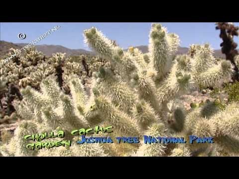 The Cholla Cactus Garden is located in Joshua Tree's Pinto Basin. Looking for broadcast footage? Don't shoot! Contact http://www.stockshot.nl/english/startuk.htm ©