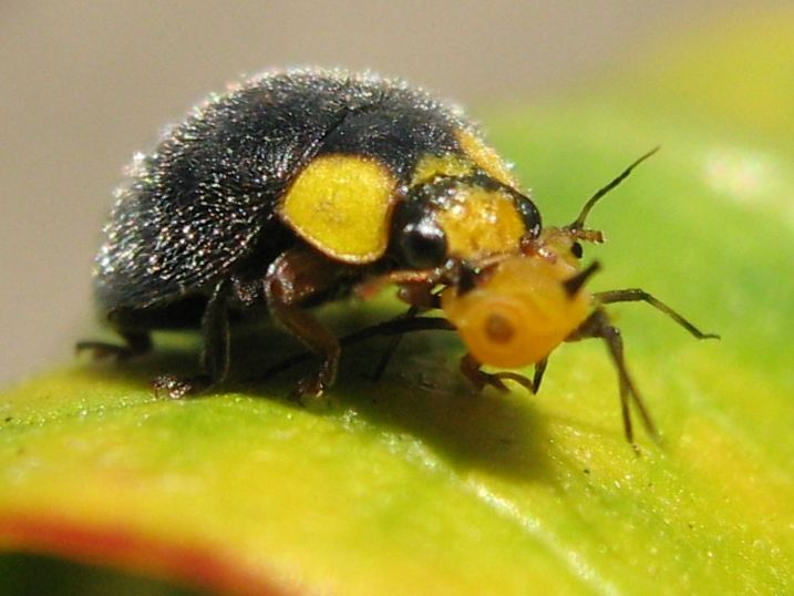 http://natural-gardener.com/ - Yellow Shouldered Ladybird (Apolinus lividigaster) with Aphis