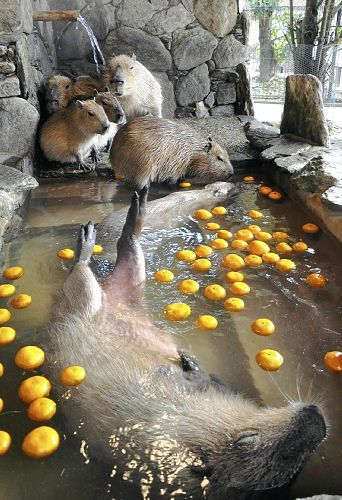 Capybaras in lemon water bath ~ what?  interesting, had to pin to find out what this is about!