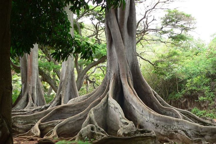 Do you recognize these trees from Jurassic Park? Every Kauai visit should include a tour at the National Tropical Botanical Garden in Poipu.