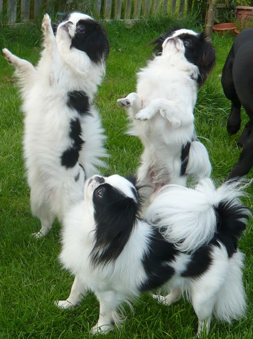 The Japanese Chin was developed in medieval Japan as a feisty, robust companion pet for wealthy women.  The Chin's flat face sometimes causes breathing & heart problems.  It is comfortable in urban spaces, able to tolerate cold well, & sociable with other dogs.  Its coat requires regular maintenance & it has a tendency to yap.