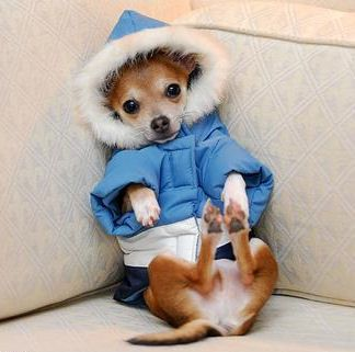 #chihuahuaDetailed Cost, Animal Chihuahuas, Snow, Jackets, Funny Dogs Pictures, Chichi, Funny Puppies, Winter Coats, Winter Dresses