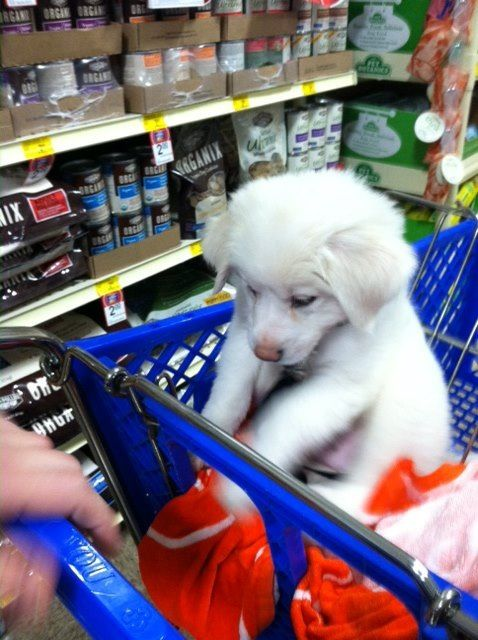 Great Pyrenees (Riley)