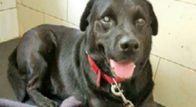 Mumbai:  A dog blinded by cataract underwent surgery at the Parel animal hospital on Saturday. Such an operation is rather unusual among animals, say doctors. Zoey, a male Labrador aged about five, was operated in the right eye by a team of doctors from Mumbai Veterinary College with the help of...