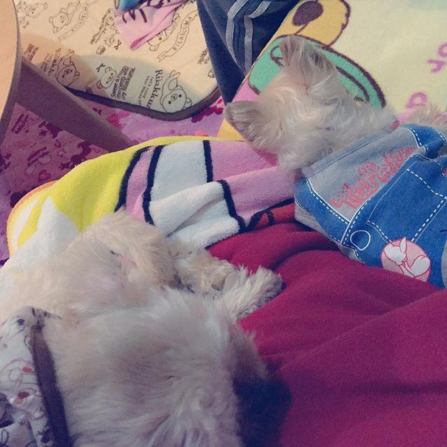 幸せなひと時でした💗  #愛犬#ヨークシャテリア#トイプードル#ペキニーズ#ミックス#雑種#おじいちゃん#赤ちゃん#可愛いが過ぎる#癒し#宝物#大好き#犬好きな人と繋がりたい#🐶#dog#boy#cute#pretty#love#💗