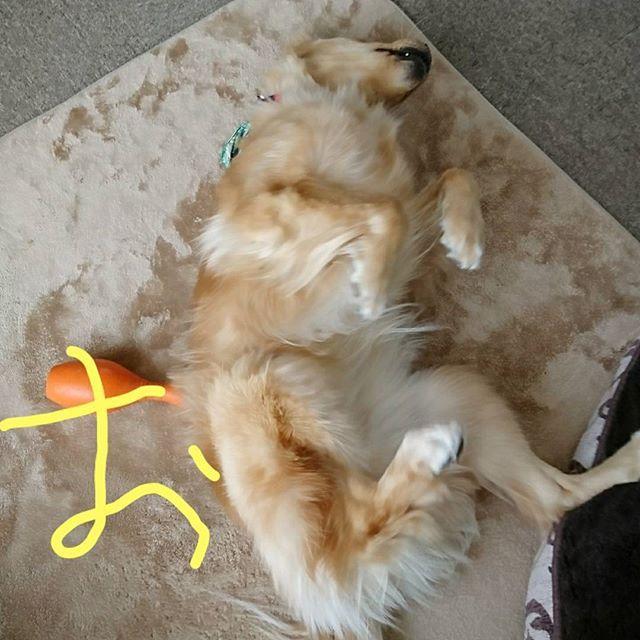 おはよ~~🐶🐶🙌 土曜日の朝だど~~⤴️⤴️ 百笑キョーダイからそれぞれごあいさつするど~~🐶🐶(笑)  #ゴールデンレトリバー#ゴールデンレトリーバー#goldenretriever#GOLDENRETRIEVER#大型犬#犬バカ部#いぬばか部#愛犬#愛息#兄弟#多頭飼い#兄#百福#百やん#ねて福#ねぼ福#弟#笑福#笑やん#ジャイアントベイビー#しょふく#スリスリダンス福Jr.#アピールダンス福Jr.#2017.3.18