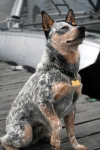 Tudo sobre a raça Australian Cattle Dog (Boiadeiro Australiano)