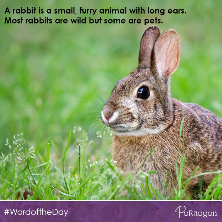 #WordOfTheDay: Rabbit. A rabbit is a small, furry animal with long ears. Most rabbits are wild, but some are pets.