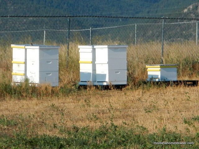 Capturing a honey bee swarm and putting it in a new bee hive | Montana Homesteader