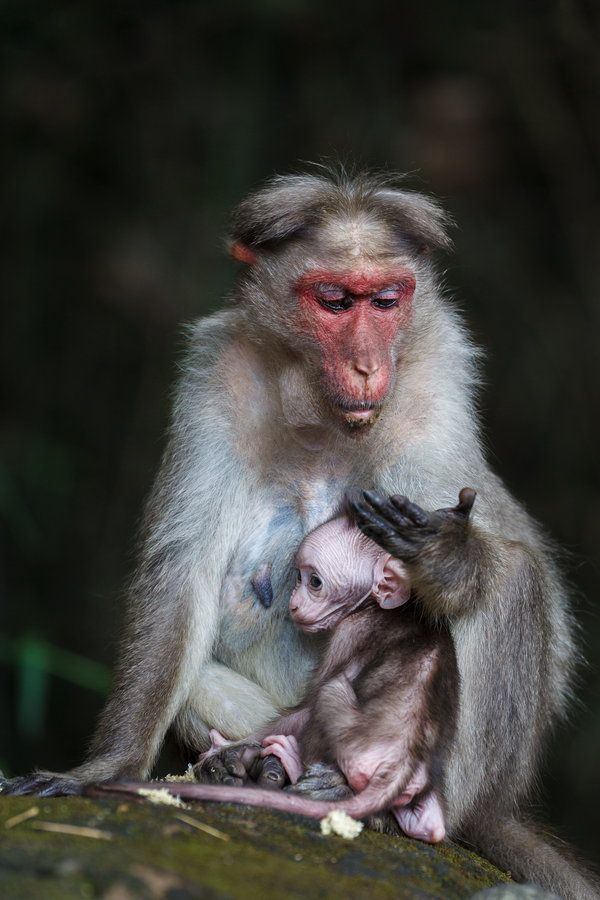 Mother love is universal. Mama monkey nurturing her newborn. Love is the greatest healer...